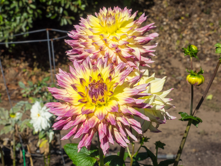 Dahlia is a genus of bushy, tuberous, herbaceous perennial plants native to Mexico.