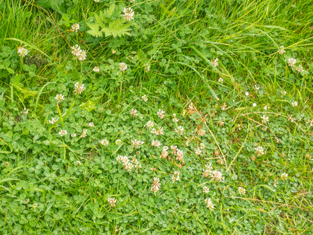 trifolium repens: White clover (Trifolium repens) is a herbaceous perennial plant in the bean family Fabaceae native to Europe. Stock Photo