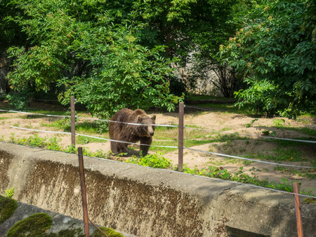 Eurasian brown bear (Ursus arctos arctos) is one of the most common subspecies of the brown bear, found across Eurasia. Stock Photo