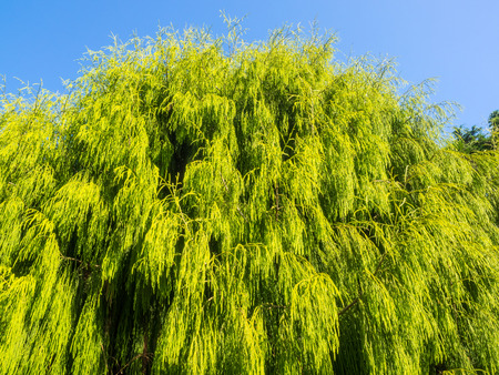 dioecious: Rimu (Dacrydium cupressinum) is a large evergreen coniferous tree endemic to the forests of New Zealand. It is a member of the southern conifer group, the podocarps. Stock Photo