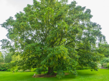 fallen tree: Japanese wingnut (Pterocarya rhoifolia) is a species of tree in the Juglandaceae family that grows in moist areas along riverbanks and mountain streams. Stock Photo