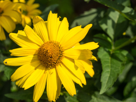 asteraceae: Mexican sunflower (Tithonia diversifolia) is a species of flowering plant in the Asteraceae family. Stock Photo
