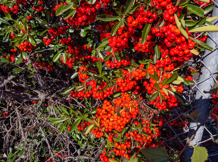 sharply: California holly (Heteromeles arbutifolia) is a common perennial shrub native to extreme southwest Oregon, California and Baja California.