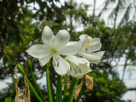 belladonna: Crinum moorei is a herbaceous plant belonging to the family Amaryllidaceae, and native to South Africa