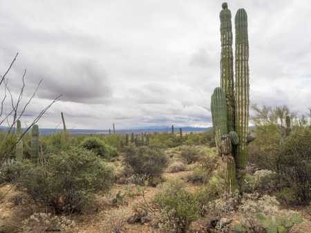 cactus species: Saguaro (Carnegiea gigantea) is an arborescent (tree-like) cactus species in the monotypic genus Carnegiea, which can grow to be over 70 feet (21 m) tall.