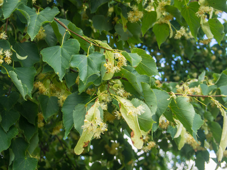tilia: Small-leaved linden (Tilia cordata) is a species of Tilia native to much of Europe