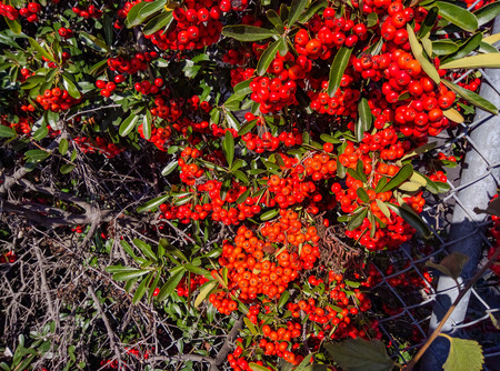 California holly (Heteromeles arbutifolia) is a common perennial shrub native to extreme southwest Oregon, California and Baja California.