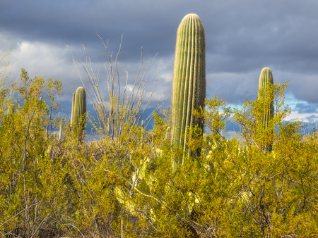 desert ecosystem: Saguaro National Park is located in southern Arizona on the outskirts of Tucson and is a part of the United States National Park System. The park preserves the desert landscape, fauna and flora. Stock Photo