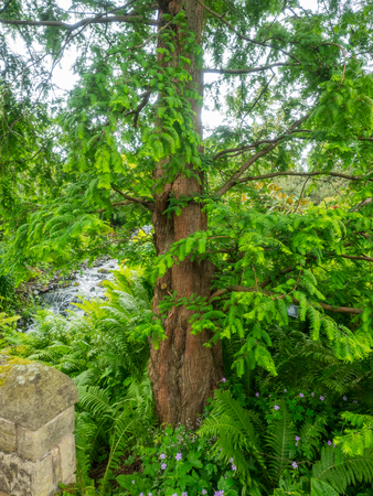 Dawn redwood (Metasequoia glyptostroboides) is a fast-growing, endangered coniferous tree, the sole living species of the genus Metasequoia, one of three species in the subfamily Sequoioideae.