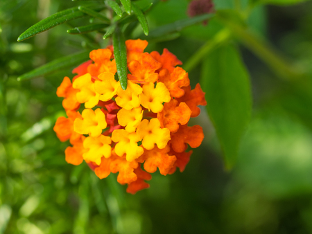 Big-sage (Lantana camara) is a species of flowering plant within the verbena family, Verbenaceae, that is native to the American tropics. 版權商用圖片