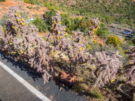 Cane cholla (Cylindropuntia spinosior) is a cactus species of the North American deserts. Imagens