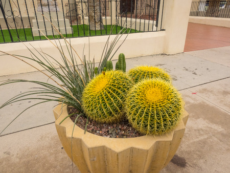 Golden barrel cactus (Echinocactus grusonii) is a well known species of cactus, and is endemic to east-central Mexico.