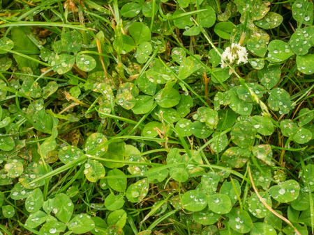 White clover (Trifolium repens) is a herbaceous perennial plant in the bean family Fabaceae native to Europe. Stock Photo