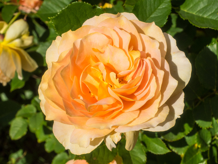 Honey Perfume Floribunda Rose has lush, apricot-yellow blossoms with an irresistible spicy fragrance.