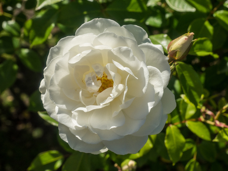 Beautiful white rose in a garden on sunny day