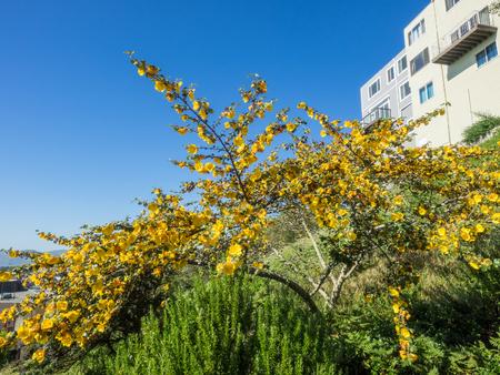 California flannelbush (Fremontodendron californicum) is a flowering shrub native to diverse habitats in southwestern North America. Stock Photo