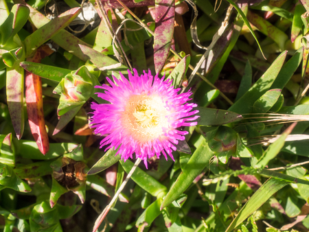 Carpobrotus chilensis has long stems and fleshy, pointed leaves which are triangular in cross-section. Its flowers are magenta and are smaller than those of ice plant.
