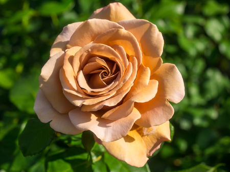 Beautiful peach rose in a garden on sunny day. Stock Photo