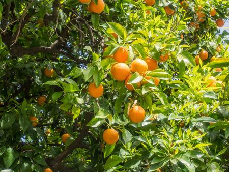L'orange de Séville (Citrus aurantium) est originaire du sud-est de l'Asie et a été répandue par les humains dans de nombreuses régions du monde. Banque d'images - 80171290