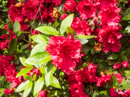 former: Azaleas are flowering shrubs in the genus Rhododendron, particularly the former sections Tsutsuji (evergreen) and Pentanthera (deciduous).