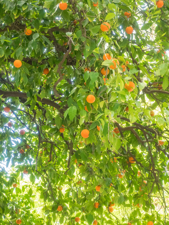 citrus aurantium: Seville orange (Citrus aurantium) is native to southeast Asia, and has been spread by humans to many parts of the world.