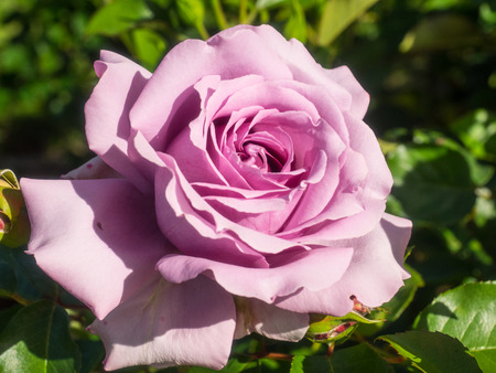 Beautiful pink rose in a garden on sunny day