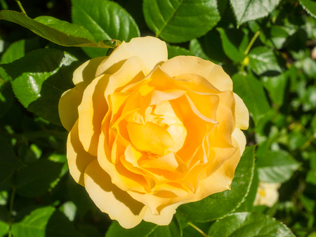Beautiful yellow rose in a garden on sunny day Stock Photo