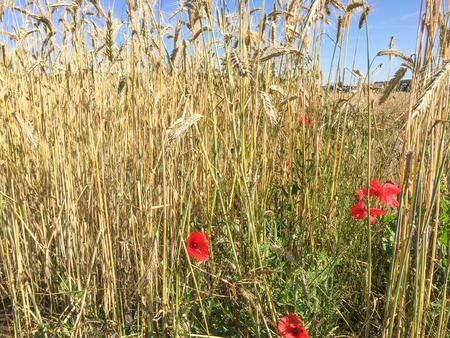 Red poppies growing on rye field in summer.