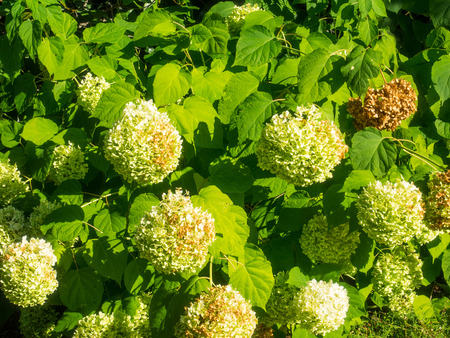 Guelder-rose (Viburnum opulus) is a species of flowering plant in the family Adoxaceae native to Europe, northern Africa and central Asia