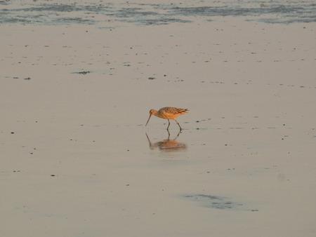 ウィレット (っている semipalmata)、サンドパイパー家族で大型シギ ・ちどり類。これらの鳥の飼料干潟や浅瀬、プローブや視力によって食糧を取るし