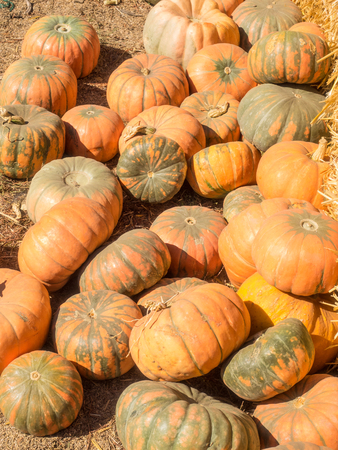 Fairytale pumpkin is deeply ribbed and has a very smooth hard surface. It is dark green in color when immature, and as it cures it turns a gorgeous deep mohagony.