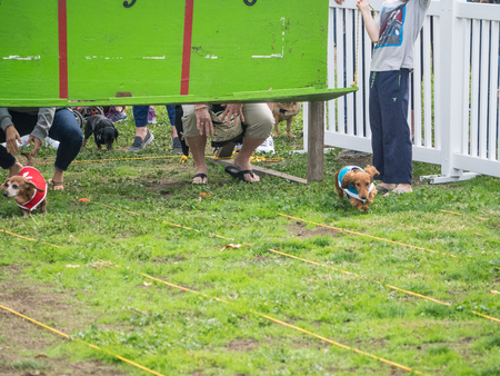 miniature breed: PALO ALTO, CAUSA - October 29 2017: 15th Annual Highway National Wiener Races where the finest dachshunds dashed to the finish line.