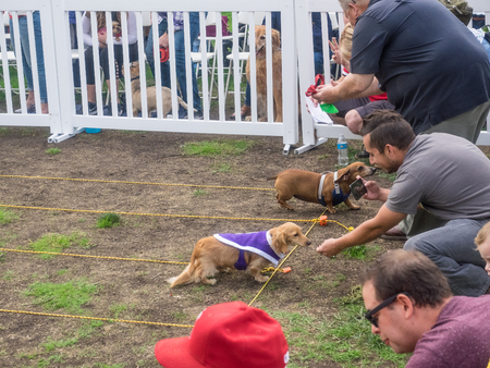 PALO ALTO, CA/USA - October 29 2017: 15th Annual Highway National Wiener Races where the finest dachshunds dashed to the finish line.