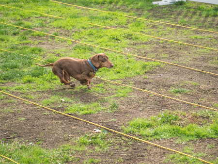 PALO ALTO, CAUSA - October 29 2017: 15th Annual Highway National Wiener Races where the finest dachshunds dashed to the finish line.