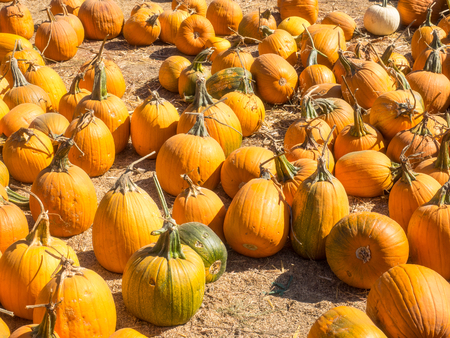 Jack-O-Lantern pumpkins are a classic fall crop essential to traditional Halloween festivities