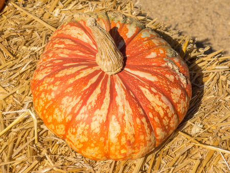 One Too Many pumpkin variety produce white fruit that are laced with reddish colored veins. Stock Photo