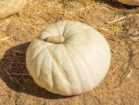 stackable: White Flat Boer Ford is an edible pumpkin in other parts of the world that can be used as an ornamental decoration for Halloween and Fall.