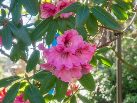 Pacific rhododendron (Rhododendron macrophyllum) is a large-leaved species of Rhododendron native to the Pacific Coast of North America. It is the state flower of Washington.