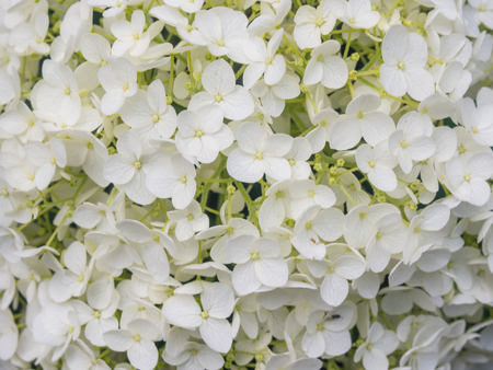 Bigleaf hydrangea (Hydrangea macrophylla) is a species of flowering plant in the family Hydrangeaceae, native to China and Japan. Stock Photo