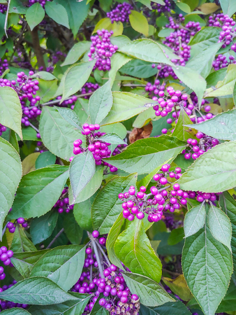 American beautyberry (Callicarpa americana) is an open-habit, native shrub of the Southern United States which is often grown as an ornamental in gardens and yards. American beautyberries produce large clusters of purple berries, which birds and deer eat, thus distributing the seeds.