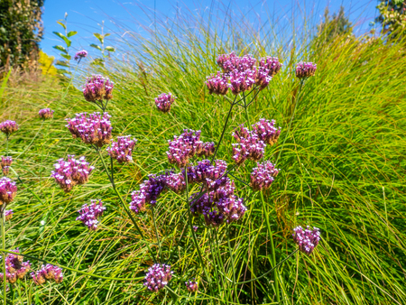 Purpletop vervain (Verbena bonariensis) is a member of the verbena family cultivated as a flowering annual or herbaceous perennial plant. Banque d'images