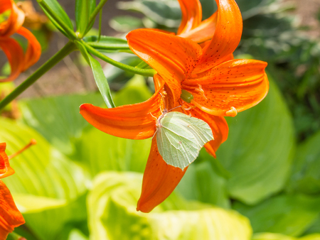Orange Day-lily (Hemerocallis fulva) is a species of daylily native to Asia.