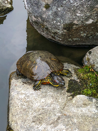 Yellow-bellied slider (Trachemys scripta scripta) is a land and water turtle belonging to the family Emydidae. This subspecies of pond slider is native to the southeastern United States.