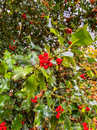 Common holly (Ilex aquifolium) is a species of holly native to western and southern Europe, northwest Africa, and southwest Asia. Stok Fotoğraf