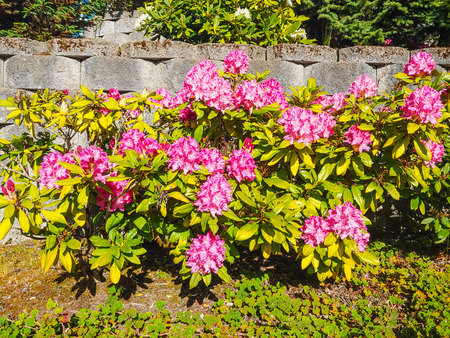 Rhododendron is a genus of 1,024 species of woody plants in the heath family (Ericaceae), either evergreen or deciduous, and found mainly in Asia, although it is also widespread throughout the highlan