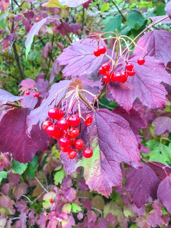 Guelder-rose (Viburnum opulus) is a species of flowering plant in the family Adoxaceae (formerly Caprifoliaceae) native to Europe, northern Africa and central Asia.