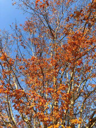 Oak trees in colorfull autumn foliage.