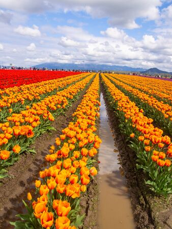 Skagit Valley tulip fields are filled with beautiful blooms and brilliant colors in April