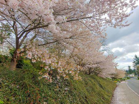 Yoshino cherry (Prunus × yedoensis) is a hybrid cherry of between Prunus speciosa (Oshima zakura) as father plant and Prunus pendula f. ascendens (Edo higan) as mother.