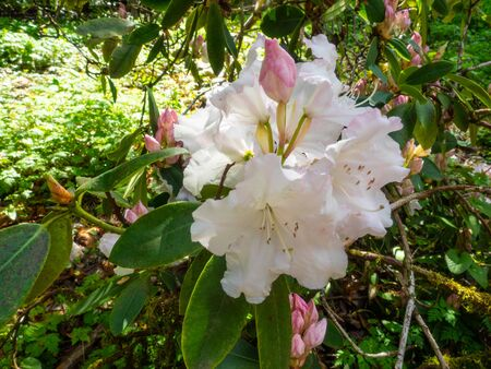 Rhododendron is a genus of 1,024 species of woody plants in the heath family (Ericaceae), either evergreen or deciduous, and found mainly in Asia, although it is also widespread throughout the highlands of the Appalachian Mountains of North America. It is the national flower of Nepal as well as the state flower of West Virginia and Washington.
